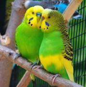 Pet bird jumbo love birds