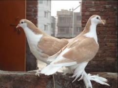 Siraji pigeon available for sale at best price