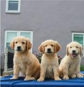 Better Golden retriever and Lab Pups low cost Adoption