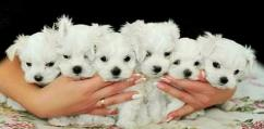 4 Shih Tzu Puppies Male and Female 8 Weeks old