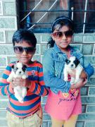 Lhasa apso puppy for sale in pune