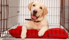 Gorgeous Labrador Pups for Adoption