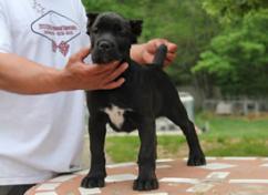 Cane-Corso (italian mastiff) pups for sale