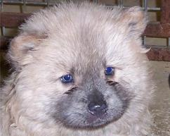 Chow-Chow pups for sale