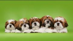 Top import bloodline shihtzu pups available in Bangalore