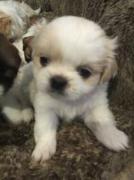 Adopt your Shih Tzu Puppies