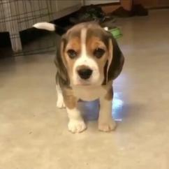 Adorable beagle pupps ready for new home