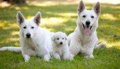 White pure breed german shepherd pupps
