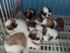Cute pair of adorable, home trained Shih tzu puppiess for Adoption.