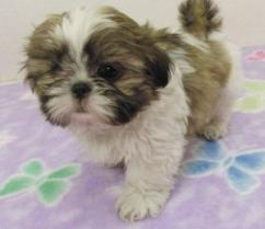 Cute pair of adorable, home trained Shih tzu puppiess for Adoption