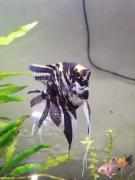 Female Marble Angel Fish 5 inches