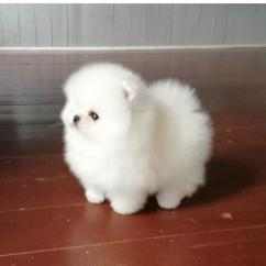 Pomeranian Pups Available for Adoption