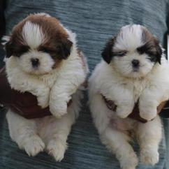 PITH BULL Puppies Male and Female 8 Weeks old