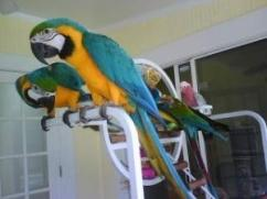 Blue and Gold Macaw Now Available