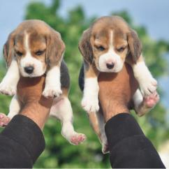 Shih Tzu, Golden Retriever, Beagle, Saint Bernard puppies Available