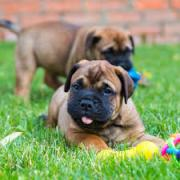 Excellent quality Bull Mastiff puppies