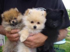 Golden Black White Pom Puppies