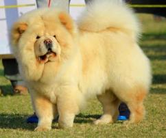 Chow Chow male puppy cream color