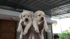 Cute Labrador retriever Puppies Available For Adoption