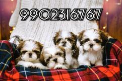 very genuine quality shih tzu puppies for sale in bangalore