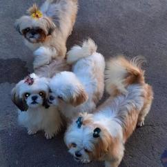 CUTE POTTY TRAINED SHITZU PUPPIES