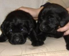 Cute Labrador retriever Puppies Available