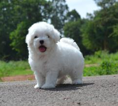 Maltese puppies available with paper