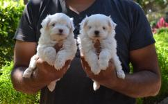 Teacup maltese puppied avlb with paper