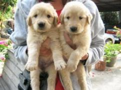 I am offering two Labrador puppies for free adoption to any loving and caring