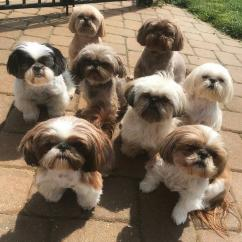Lovely shih tzu puppies ready  for adoption