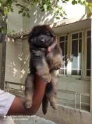 Quality all breed dog puppies available with vaccinations