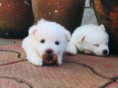 Loving male and female pom puppies for adoption to a new caring family asap