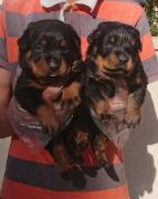 ADORABLE ROTTWEILER PUPPIES FOR ADOPTION  SO LOVELY