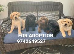 Male and female puppies  for adoption Labrador ret
