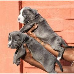 Top quality American bully