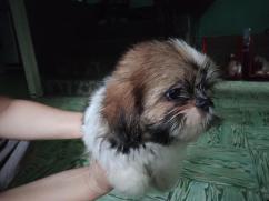 We have super cute shih tzu puppies for adoption