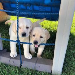 VERY HEALTHY LABRADOR RET PUPPIES HOME TRAINED