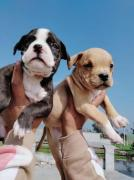 DFW kennel American Bully puppies