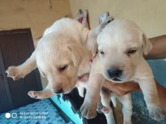 Labrador puppies for adoption Urgent