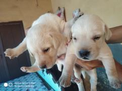 Brown Labrador puppies for adoption