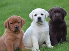 We have very beautiful and lovely LAB RET  puppies both males and females availa