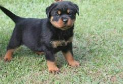 Proper shape proper vaccinated Rottweiler puppies