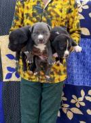 Amazing American Bully and Pitbull puppies with paper