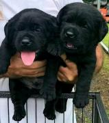 9554023891 Pure brees Labrador puppies available