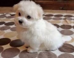 3Import Maltese puppies