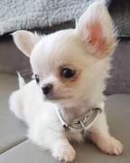 Excellent Quality Chihuahua Puppies