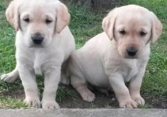 Healthy Labrador puppies to offer for free adoption.