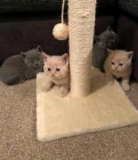 Healthy British short hair kitten for good homes