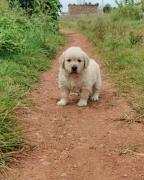 Top quality golden retriever puppies