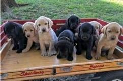 Jovial male and female lab ret puppies ready for a caring home
